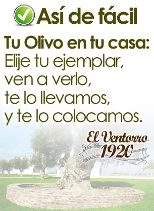Olivos Centenarios en Madrid